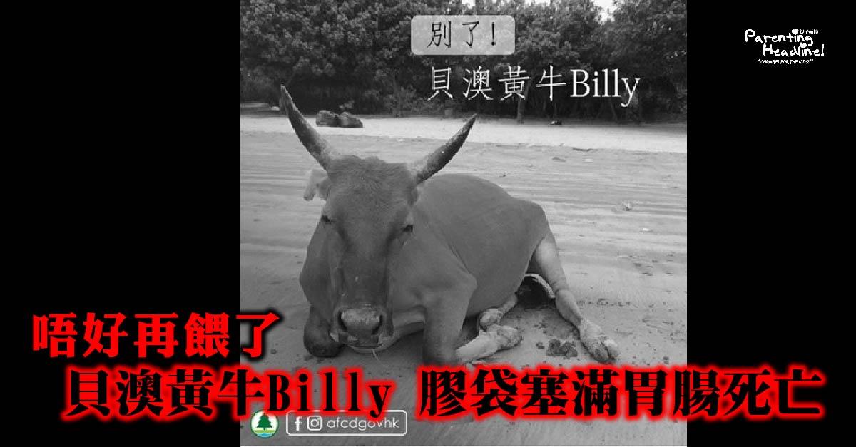 【唔好再餵了】貝澳黃牛Billy 膠袋塞滿胃腸死亡